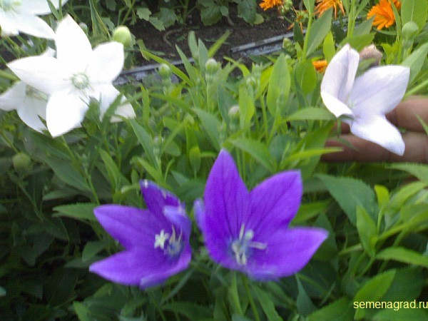 Canula latifolia многолетние цветы